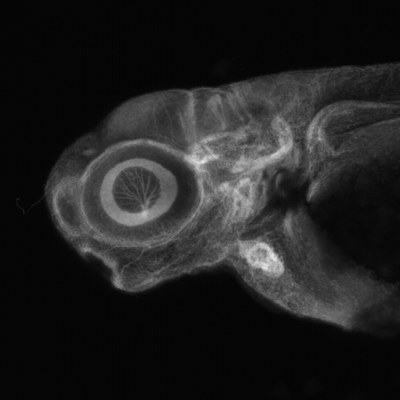 Lateral view of stained zebrafish head